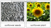 Seed and Plant Matching Cards - FREE Printable Montessori Learning Materials by Montessori Print Shop.