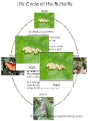 Butterfly Life Cycle Cards - Printable Montessori Learning Materials by Montessori Print Shop.