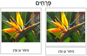 Flower Cards in Hebrew Set 2 - Printable Montessori Hebrew Materials for home and school.