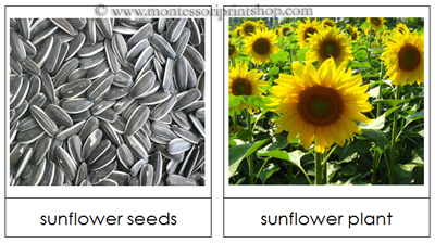 Free Seed and Plant Matching Cards - printable Montessori Materials for Montessori Learning at home and school.