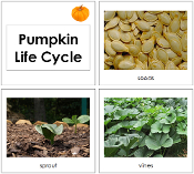 Toddler Pumpkin Life Cycle Cards - Printable Toddler Montessori Materials by Montessori Print Shop.