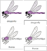 Dragonfly Nomenclature Cards - Printable Montessori nomenclature cards by Montessori Print Shop.