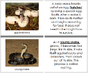 Snake Life Cycle Nomenclature Book - Printable Montessori materials by Montessori Print Shop.