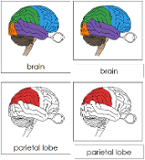 Brain Nomenclature Cards (in red) - Printable Montessori materials by Montessori Print Shop.