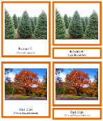 Canadian Provincial Trees 3-Part Cards - Printable Montessori geography materials by Montessori Print Shop.