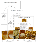 Honey Bee Life Cycle Cards - Printable Montessori Nomenclature Cards by Montessori Print Shop