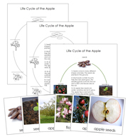 Apple Life Cycle Cards and Charts - Printable Montessori materials by Montessori Print Shop.