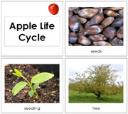 Toddler Apple Life Cycle Cards - Printable Toddler Montessori Materials by Montessori Print Shop.