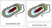 Bacterial Cell Nomenclature Cards - Printable Montessori Nomenclature Materials by Montessori Print Shop.