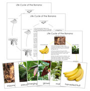 Banana Life Cycle Cards and Charts - Printable Montessori Nomenclature Cards by Montessori Print Shop
