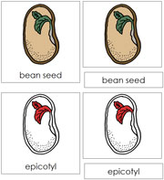 Bean Seed Nomenclature Cards (in red) - Printable Montessori materials by Montessori Print Shop.