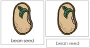 Bean Seed Nomenclature Cards - Printable Montessori nomenclature cards by Montessori Print Shop.