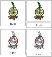 Bulb Nomenclature Cards (in red) - Printable Montessori materials by Montessori Print Shop.