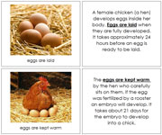 Chicken Life Cycle Book - Printable Montessori materials by Montessori Print Shop.