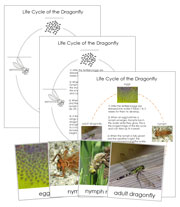 Dragonfly Life Cycle Cards - Printable Montessori materials by Montessori Print Shop.