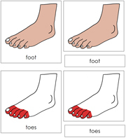 Foot Nomenclature Cards (Simple) Red - Printable Montessori materials by Montessori Print Shop.