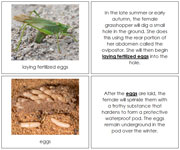Grasshopper Life Cycle Nomenclature Book - Printable Montessori materials by Montessori Print Shop.