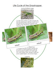 Grasshopper Life Cycle Cards - Printable Montessori Nomenclature Cards by Montessori Print Shop