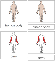 Human Body Nomenclature Cards - Printable Montessori Nomenclature Materials by Montessori Print Shop.