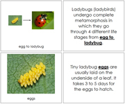 Ladybug Life Cycle Book - Printable Montessori materials by Montessori Print Shop.