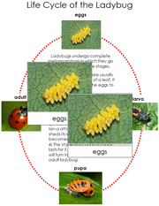 Ladybug Life Cycle Cards - Printable Montessori materials by Montessori Print Shop.