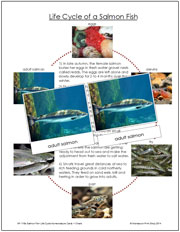 Salmon Fish Life Cycle Cards - Printable Montessori materials by Montessori Print Shop.