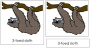 3-Toed Sloth Nomenclature Cards - Printable Montessori nomenclature cards by Montessori Print Shop.