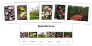 Apple Life Cycle Sequence Cards - Printable Montessori materials by Montessori Print Shop.